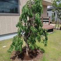 芝生の真ん中に植わっている果樹も、見切りの縁石レンガで芝生との混合を回避します。