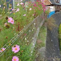 施工前、フェンスの外の雑草取りは高所作業で危険、綺麗に取り除きます。