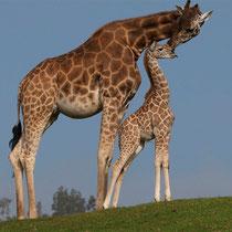 Jirafa (Giraffa camelopardalis)