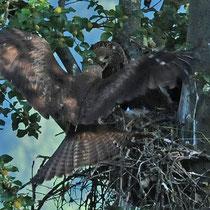 Schwarzmilan Jungvogelfütterung
