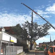 Von oben wird der grosse Baum gekappt