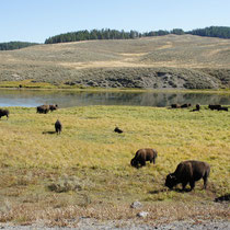 bisons im yellowstone