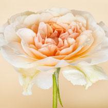Engische Rose, Perdita