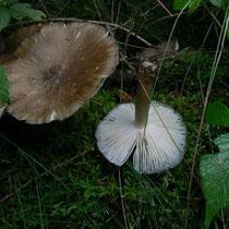 Breitblättriger Rübling - Megacollybia platyphylla. Sein Hut besteht fast nur aus Haut und Lamellen.