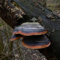 Rotrandiger Baumschwamm - Fomitopsis pinicola. Entgegen seinem Namen - auch Laubholzbesiedler, z.B. gern an Buchen und Erlen.