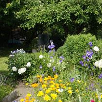 Gartenblick mit Ringelblumen, Pfingstrosen, Glockenblume Juni 2014