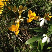Schneeglöckchen und gelbe Krokusse