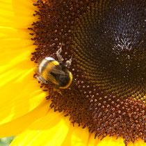 Sonnenblume mit Hummeln