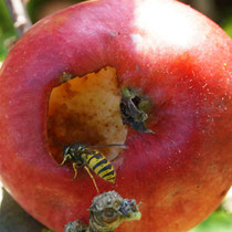 Wespe frisst Apfel an
