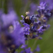 Lavendel mit gestreiftem Käfer Edne Juni 2015