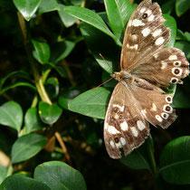 """Schmetterling """"Waldbrettspiel"""", Foto Clemens Esser, 8/2015"""