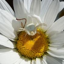 Krabbenspinne in weißer Margerite