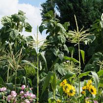 Mais, Staudensonnenblume, Bechermalve, Stangenbohnen
