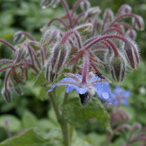Borretsch Blüte mit Regentropfen