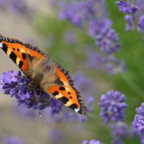 """Schmetterling """"kleiner Fuchs"""" auf Lavendelblüten"""