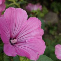 Bechermalvenblüte