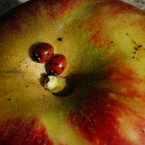 Marienkäfer auf Apfel