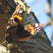 Schmetterlingshochzeit Distelfalter 9.3.2014