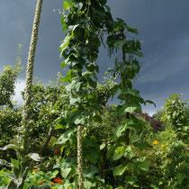 Stangenbohnen vor Gewitterhimmel
