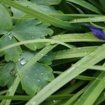 Regentropten auf Blättern