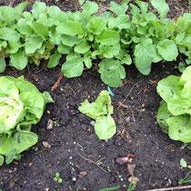 Salatwelke Schadbild