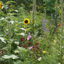 Selbstaussäherbeet mit Königskerzen, Sonnenblumen, Schmuckkörbchen ...
