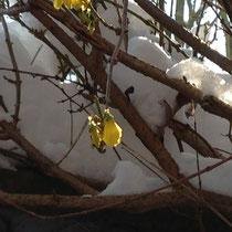 Forsythienblüte mit Schnee