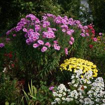 lila Rauhblattaster, gelbe Chrysanthemenbüsche, weiße Aster