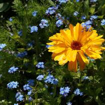 Ringelblume und Vergißmeinicht