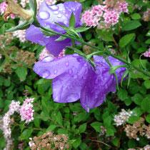 rundblättrige Glockenblume mit Regentropfen