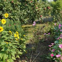 """Staudensonnenblume, Apfelbaum """"roter Berlepsch"""" im Hintergrund"""