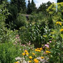 Bauerngartenbeet mit Dill, Bechermalven, Ringelblumen und Zuckermais