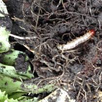 Wurzelbohrer an Salat