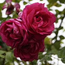 Kletterrosenblüte Ende Juni