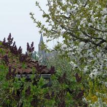 Badorfer Kirche und blühender Kirschbaum