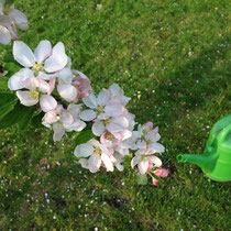 blühender Apfelbaumzweig und Gartengießkanne