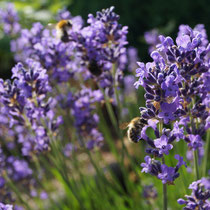 Lavendel, Bienen