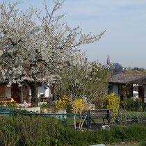 Kirschblüte am 2.5.2014 im Schrebergarten, Gartenlauben