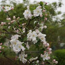 Apfelbaumblüte am 5.4.2014