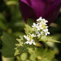 Knoblauchraucke, Blüte Anfang Mai
