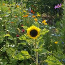 Sonnenblume in Selbstaussäherbeet