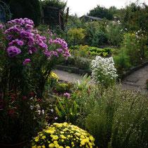 Gartenblick auf: lila Rauhblattaster, gelbe Chrysanthemen, weiße Aster, Endiviensalate