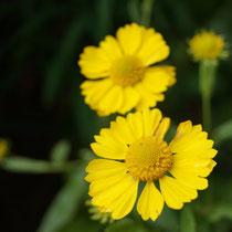Gelbe Sonnenbraut