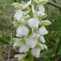 Orchis morio var. albina