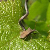biodiversität gründüngung bodenleben wildkräuter knöllchenbakterien mischkultur lebensraum insekten käfer