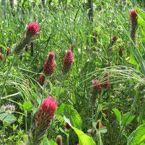 biodiversität gründüngung bodenleben wildkräuter knöllchenbakterien mischkultur lebensraum insekten inkarnatklee klee