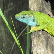 biodiversität gründüngung bodenleben wildkräuter knöllchenbakterien mischkultur lebensraum insekten smaragdeidechse eidechse
