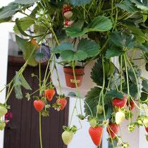 Auf diese Weise bleiben die Erdbeeren von den Schnecken verschont ;-)