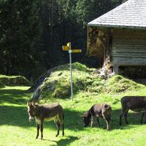 Esel bei der Alp Schlüechtli