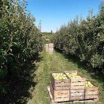 Blick durch die Birnenanlage nach der Ernte.